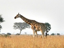 Girafe in Murchison Falls National Park