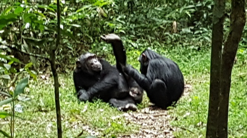 Chimpanzee Tracking at Kibale National Park
